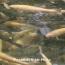 Սևանա լիճ է բաց թողնվել 43.000 գեղարքունի և ամառային իշխանի մանրաձուկ