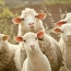 Italian police say mafia communicated with 'sheep code'