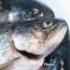 Ռոսսելխոզնադզորը Նորվեգիայից ձկան ներմուծումն արգելելու համար ՍԱՊԾ չի դիմել