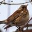 Птицы Еревана: Как изменение экологии города меняет видовой состав пернатых столицы