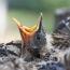 Инструкция: Как ухаживать за найденными птенцами