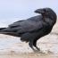 «Пернатые приматы»: Факты о воронах - умнейших птицах со сложным характером