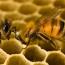 Язык пчел