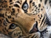 Armenia may host reintroduction center for leopards
