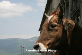 Число больного бруцеллезом рогатого скота в Армении ежегодно сокращается