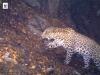 Հայաստանում Կովկասյան ընձառյուծների թիվն աճում է