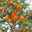 Ն. Կարմիրաղբյուրի  զոհված ազատամարտիկների ընտանիքները պտղատու ցրտադիմացկուն ծառերով  են ապահովվել
