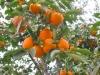 Պտղատու ծառերի  ևս 300 տնկի է տրվել Ն. Կարմիրաղբյուրի զոհված ազատամարտիկների ընտանիքներին
