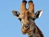 Wild giraffes on edge of extinction as numbers plummet by 40%