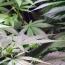 В Грузии отменили тюремное наказание за потребление или приобретение марихуаны в малых дозах