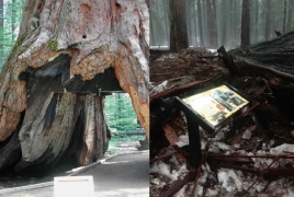 California's historic Tunnel Tree toppled by powerful storm