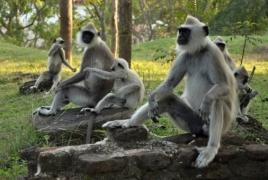 Исследователи зафиксировали ритуал оплакивания обезьянами робота, принятого за сородича
