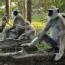 Monkeys mourn death of robotic monkey spying on them