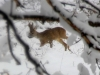 European roe deer spotted in Armenia reserve