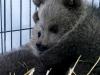 Спасенных в Армении медвежат назвали Зангак и Бамбак