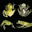 See-through frog comes to light in Ecuador