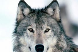 Исследование: Волкам и собакам присуще чувство справедливости
