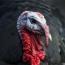 Giant flying turkey once roamed Australia: study