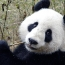 Video shows Chinese zoo keeper drag and hurl giant panda cubs