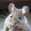 Биологам удалось вырастить человеческий кишечник в крысах