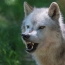 Blood molecule that attracts wolves, repels humans - researchers