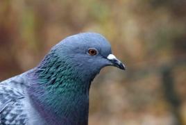 200 голубей из России вернутся в Армению