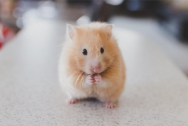 Scientist reportedly creates genetically modified hamsters