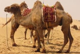 UAE starts producing world's first camel-based baby formula