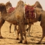 UAE starts producing world's first camel-based baby formula
