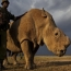 World's last male northern white rhino dies; only two females left