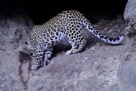 Camera traps in Armenia reserve capture rare Caucasian leopard