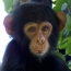 Chimpanzee beds are cleaner than those of humans, study finds