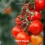 В Москве обсудили вопросы поставок томатов из Армении в РФ