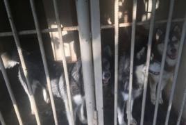 «Դինգո Թիմ». Մանվել Գրիգորյանի շները մնացել են անտեր ու ոռնում են սովից