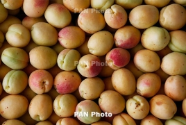 Экспорт абрикоса из Армении вырос почти в 1,5 раза