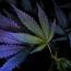 В Мексике хотят легализовать марихуану для борьбы с наркомафией