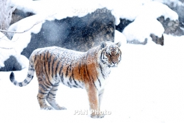 Amur tiger named Nobel dies suddenly in Yerevan zoo