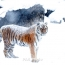 Amur tiger named Nobel dies suddenly in Yerevan zoo