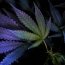 Genes that could make you more likely to try cannabis: research