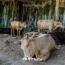 В Армении предотвратили попытку угона крупного рогатого скота в Грузию