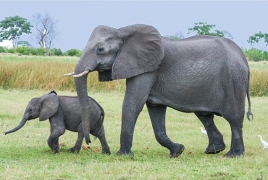 Researchers study elephants' math abilities