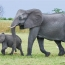 Researchers study elephants' math abilities