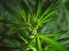 Chronic cannabis use could have serious effects on the brain
