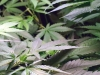 Smoking weed said to improve working memory