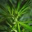 Marijuana can reprogram sperm genes, study claims