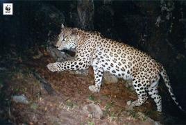 В Армении замечен еще один леопард