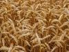 Հս Կորեան ՌԴ-ից 50,000 տ ցորեն է խնդրել որպես նվիրատվություն