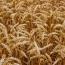 Северная Корея попросила у РФ 50,000 т пшеницы в подарок