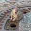German firefighters rescue fat rat stuck in manhole cover