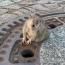 В Германии пожарные спасли застрявшую в канализационном люке крысу